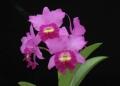 Cattleya Mericlone <br>