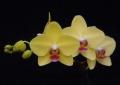 Phalaenopsis Mericlone <br>