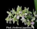 Phalaenopsis species & <br>Hybrids