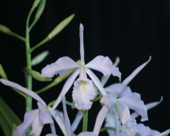 C. maxima var. coerulea