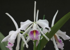 C. maxima var. semi-alba