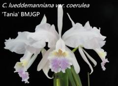 C. lueddemanniana var. coerulea  x  sib ('Tania' BM/JGP  x  'Ching Hua')