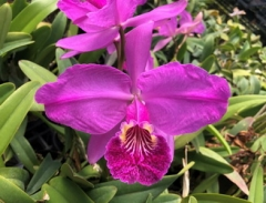 C. lueddemanniana var. rubra  x  sib ('Mishima' BM/JOGA  x  'Dark Hsinying')