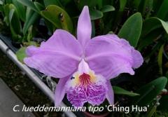 C. lueddemanniana tipo x sib ('Ching Hua' x 'Hsinying')