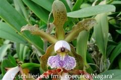 C. schilleriana fma. coerulea 'Nagara'  x  self