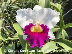 C. (Lc.) Chyong Guu Swan 'Ruby Lip' AM/OSROC