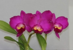 Ctt. (Slc.) Best Friend 'Cleopatra' (C. Drumbeat  x  Ctt. Love Tradition)