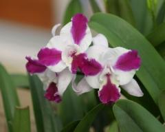 Lc. Purple Cascade