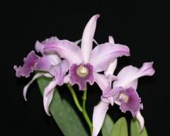 Lc. Canhamiana fm. coerulea