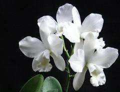 Ctt. White Bridal