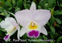 C. (Lc.) Pure Soul 'Yutaka Morimoto' (Dubiosa x Stephen Oliver Fouraker)