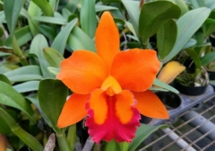 Rth. Yen Orange 'Martin'(Orange Nugget x Termthong)