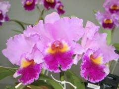 Rlc. (Blc.) Rose Whisper 'Suisei' SM/TOGA (C. Drumbeat x Rlc. Llano)