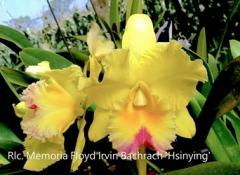 Rlc. Memoria Floyd Irvin Bachrach 'Hsinying' (Horace x Saint Helena Sound)
