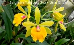 Sergioara Yokosuka Story 'Little Oriole' (Epc. Rene Marques x Rth. Free Spirit)