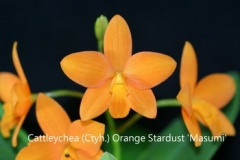 Ctyh. Orange Stardust 'Masumi' SQ/JOGA