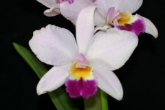 Rth. Hsinying Starlight 'Pink Lady'