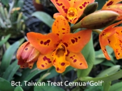 Bct. Taiwan Treat Cernua