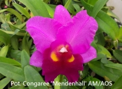 Pot. Congaree 'Mendenhall' AM/AOS (Pot. Dark Eyes  x  Lc. Little Susie)