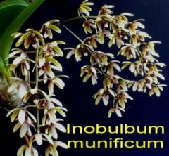 Inobulbum munificum