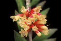 Den. lawesii var. bicolor  x  sib (