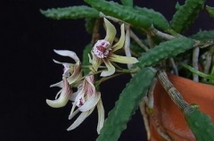 Den. cucumerinum x sib