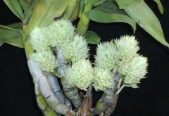 Den. ophioglossum var.album (capituliflorum) x  sib