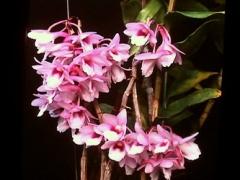Den. cumulatum (pink)  x  sib