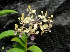 Den. violaceoaflavens