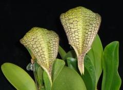 Bulb. Taiwan Cicad (arphakianum x burfordiense)