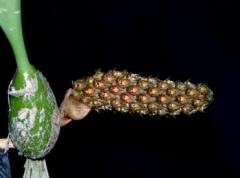 Bulb. crassipes