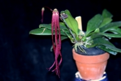 Bulb. habrotinum