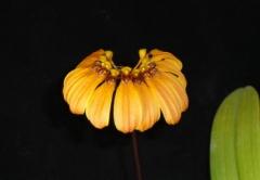 Bulb. mastersianum