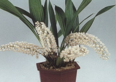 Coelogyne multifolia (2~3 Bulbs)