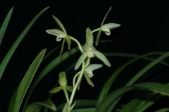 Cym. ensifolium