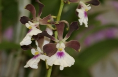 Encyclia cordigera  x  sib (