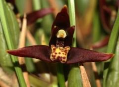 Maxillaria houteana