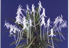 V. (Neof.) falcata (White)