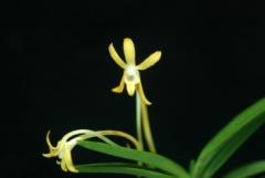 Neof. falcata (hybrid)