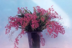 Onc. Twinkle 'Red Fantasy'