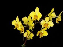 P. stuartiana v. nobilis (Yellow Strain)