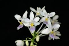 P. equistris f. coerulea  x  sib