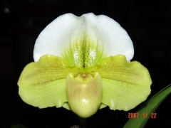 Paph. Chouyi Green Apple
