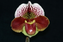 Paph. Thunder Cat
