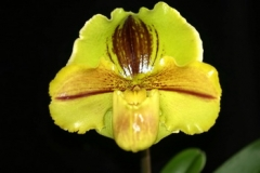 Paph. Lippewunder