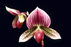 Paph. Hsinying Maru