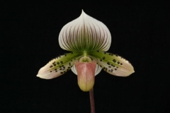 Paph. Night Hawk