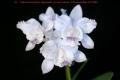 C. intermedia var. aquinii-coerulea  x  sib ('Haneda' AM/AOS  x  'C.H.#13')