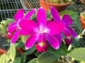 C. violacea ( rubra 'Muse' FCC/AOS  x  flamea 'Por De Sol' )