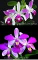 C. violacea var. flamea  x  sib ('C.H.#1' CHM/TOGA  x  'Por de sol')